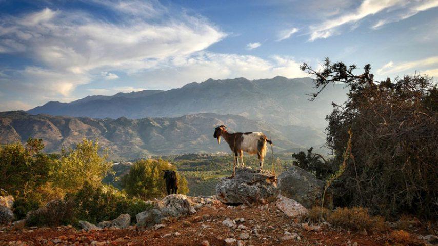 crete-goat